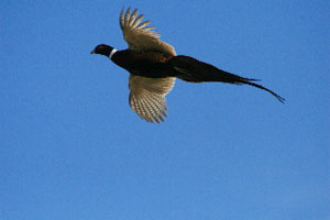 flying-pheasant