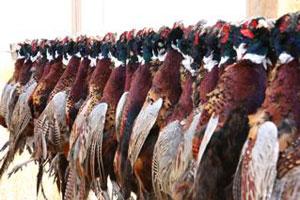 pheasant-harvest